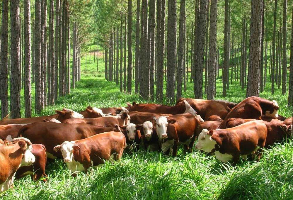 Los sistemas agroforestales pueden generar rindes superiores al cultivo  tradicional