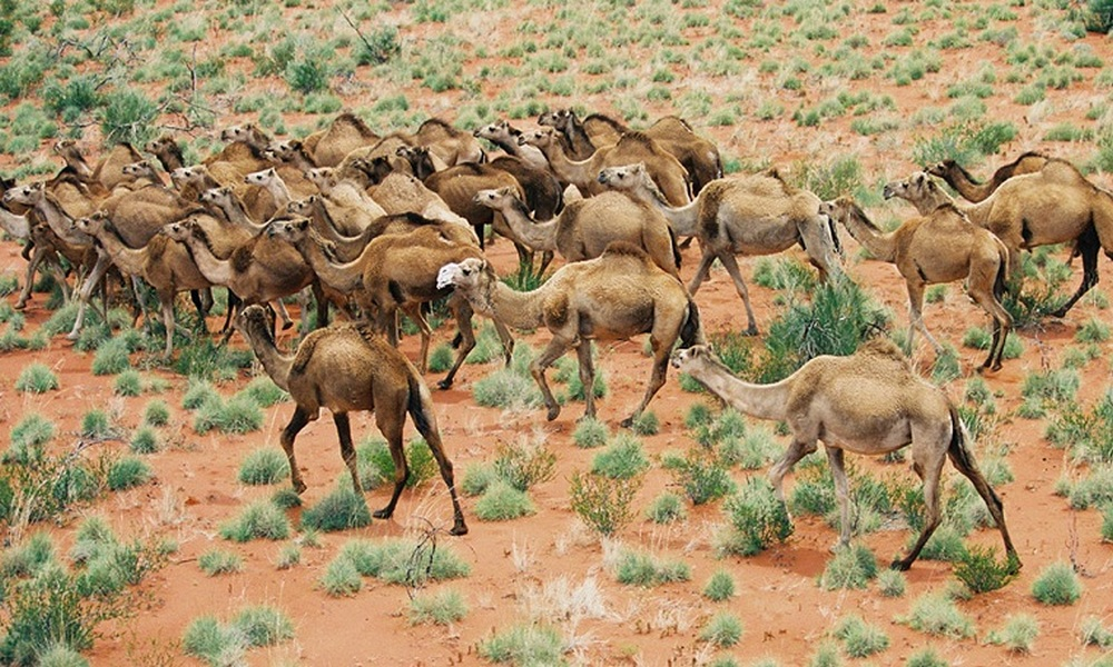 Image result for australia mato 5000 camellos